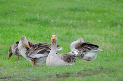 Grey domestic goose. On the green grass royalty free stock image