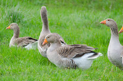 Grey domestic goose. On the green grass Stock Photos