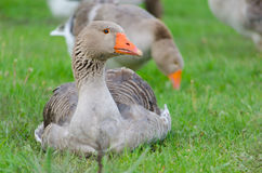 Grey domestic goose. On the green grass Royalty Free Stock Photo