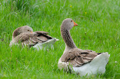 Grey domestic goose. On the green grass Royalty Free Stock Photos