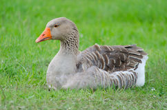 Grey domestic goose. On the green grass Royalty Free Stock Images