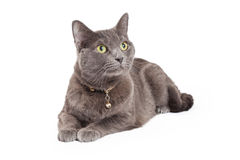 Grey Domestic Shorthair Cat Laying attentif Photographie stock