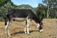 Grey donkey Stock Photography