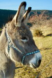 Grey donkey. In the countryside in the french alps Royalty Free Stock Image