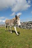 Grey donkey royalty free stock images