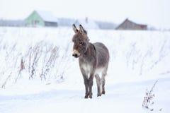 Grey donkey Stock Image