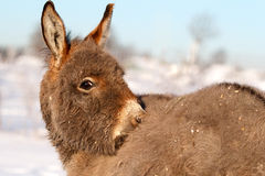Grey donkey. Little Grey donkey in winter Stock Images