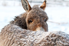 Grey donkey Stock Images