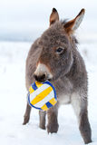 Grey donkey with ball. Grey donkey in winter field with ball Royalty Free Stock Photography