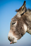 Grey donkey with blue sky Royalty Free Stock Images