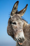 Grey donkey with blue sky Stock Image