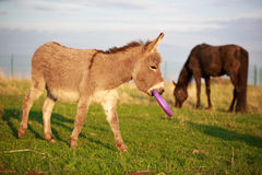 Grey donkey. With circle toy Stock Images