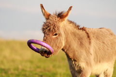 Grey donkey. With circle toy Royalty Free Stock Images