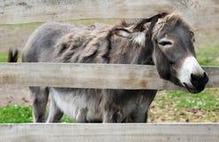 Grey donkey Royalty Free Stock Photos