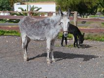 A grey donkey with a dark brown foal Royalty Free Stock Photo