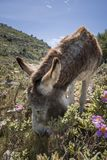 Donkey eating. Grey donkey eating grass in mountain fields Stock Photo