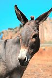 Grey donkey in field Royalty Free Stock Image