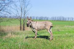 Grey donkey in field stock photography