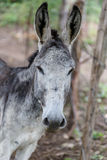 Grey donkey head in detail Royalty Free Stock Image