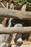 Grey donkey. On the image is head donkey royalty free stock photos