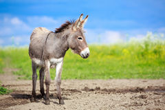 Grey donkey. Little Grey donkey in field Stock Image