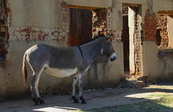 A grey donkey and an old house Royalty Free Stock Image