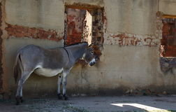 A grey donkey and an old house Royalty Free Stock Images