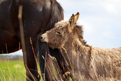 Grey donkey Royalty Free Stock Images