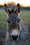 Grey Donkey Portrait Stock Image
