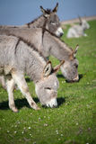 Grey donkey Stock Photos