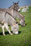 Grey donkey Stock Photos