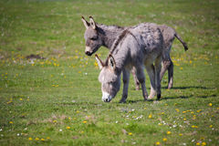 Grey donkey Royalty Free Stock Photos