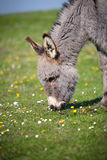 Grey donkey Royalty Free Stock Image