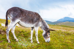 Grey donkey, portrait Stock Photos