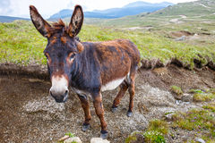 Grey donkey, portrait Royalty Free Stock Images