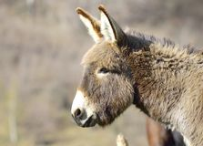 Grey donkey portrait Stock Images