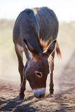 Grey donkey Royalty Free Stock Photo