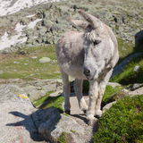 The grey donkey Royalty Free Stock Image