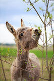 Grey donkey. And tree branch Stock Images