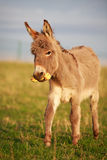 Grey donkey. With yellow toy Stock Image