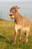 Grey donkey. With yellow toy Stock Photos