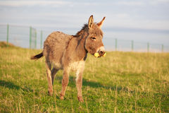 Grey donkey. With yellow toy Royalty Free Stock Images