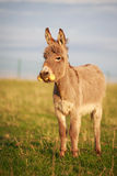 Grey donkey. With yellow toy Royalty Free Stock Image