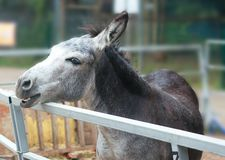 Grey donkey in the zoo, smiles and eats. Gray donkey in the zoo smiles and eats , his children feed carrots, cabbage, hay, riding in the saddle stock image