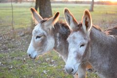 Grey Donkeys au coucher du soleil Images stock