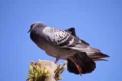 Grey dove and blue sky Stock Photo