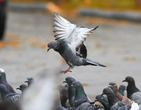The grey dove flies to spread its wings over the birds Royalty Free Stock Image