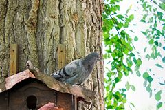 Grey dove at home. Dove. Autumn. Winter. The sun. Bird. Forest stock image