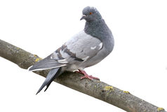Grey dove isolated on a white background. Feral Pigeon Royalty Free Stock Photos