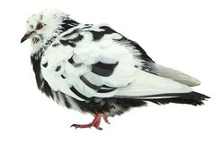 Variegated black-and white color of Grey dove isolated on a white background. Feral Pigeon Stock Images
